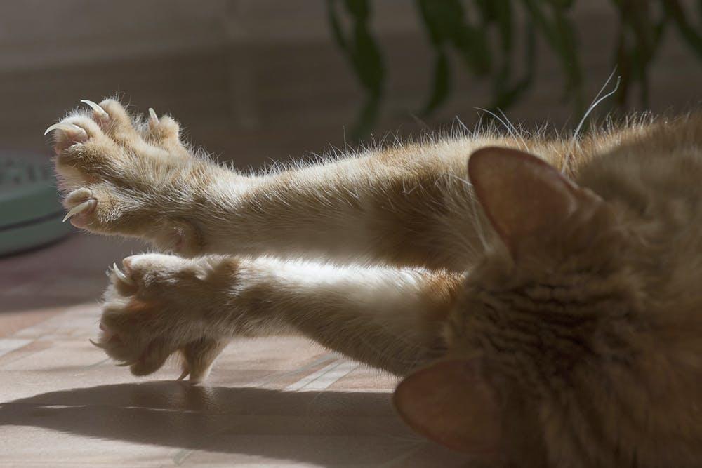 cat peeing on a carpet